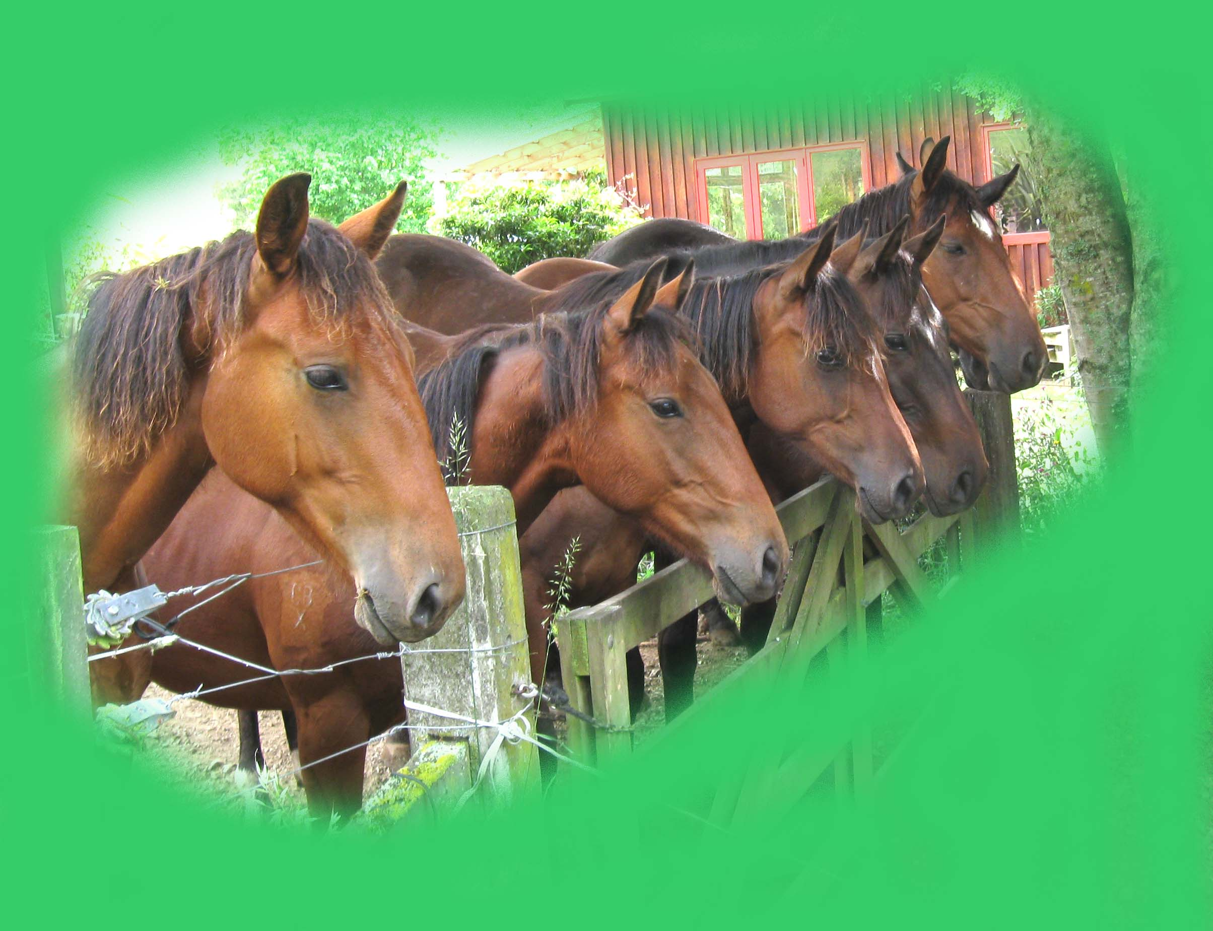 Serendipity Cleveland Bay yearlings