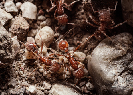 Insects-Red fire ants in Newhall Canyon