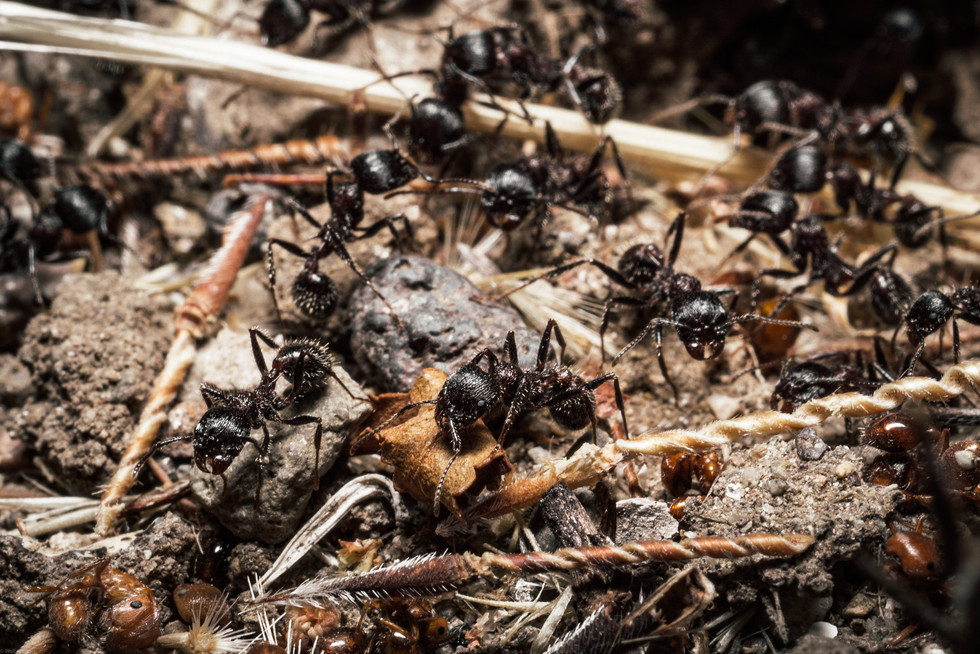 Insects-Black ants in Malibu Creek (FDma