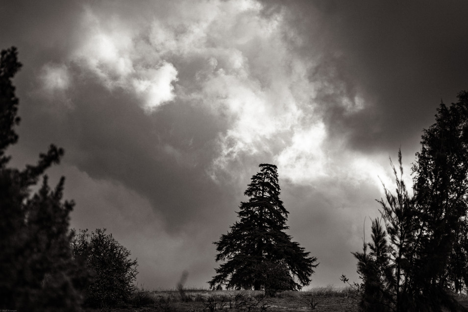 Tree-Cedar on a stormy morning (FDmacro)