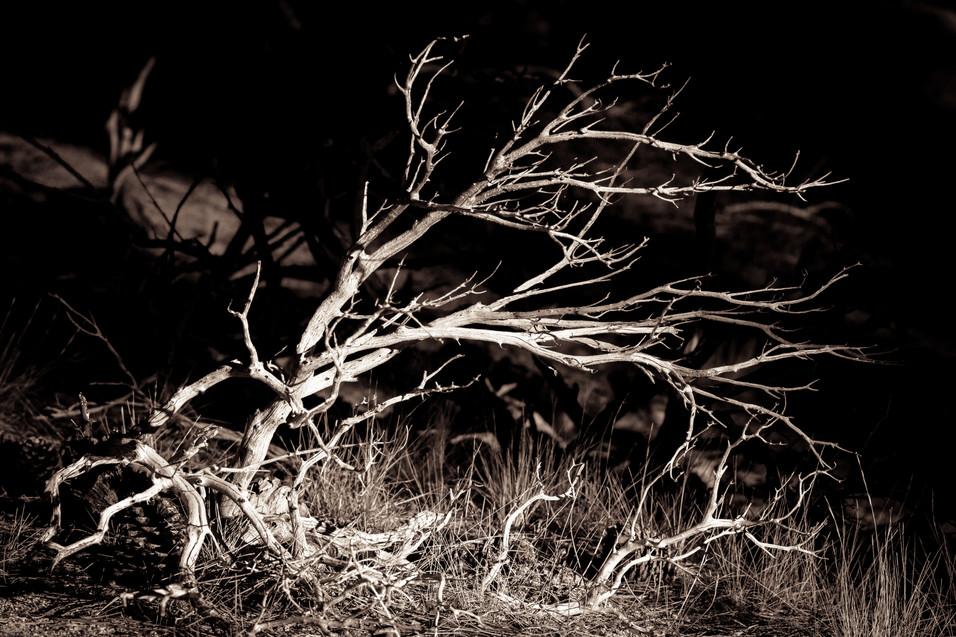 Nature-Dead Manzanita bush in Hanna Flat