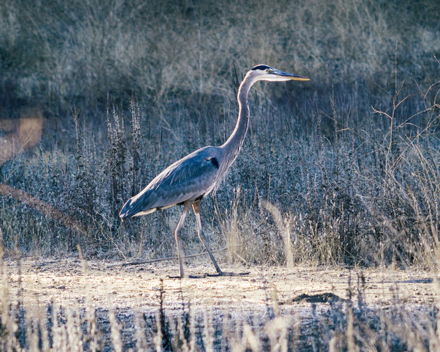 Birds-Great Blue Heron in Malibu Creek S