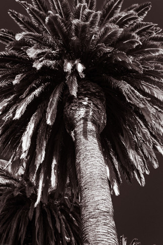 Trees-Date palm and squirrel (takumar35)