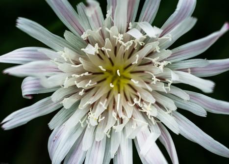 Flowers-Wild white flower Topanga state