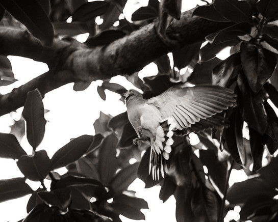 Birds-Dove flying up into magnolia tree