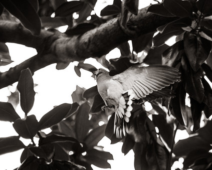 Birds-Dove flying up into magnolia tree