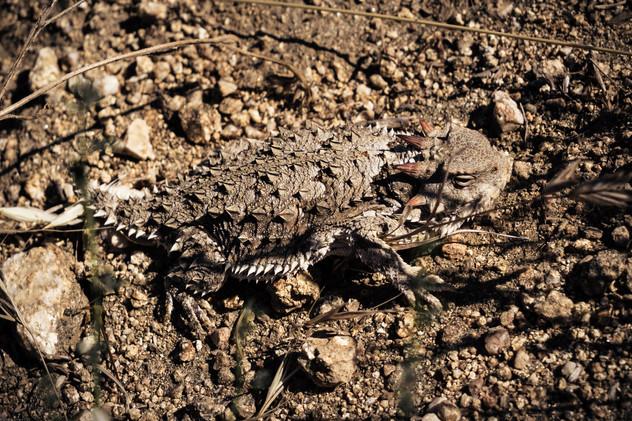 Reptiles-Coast Horned Lizard (takumar35*