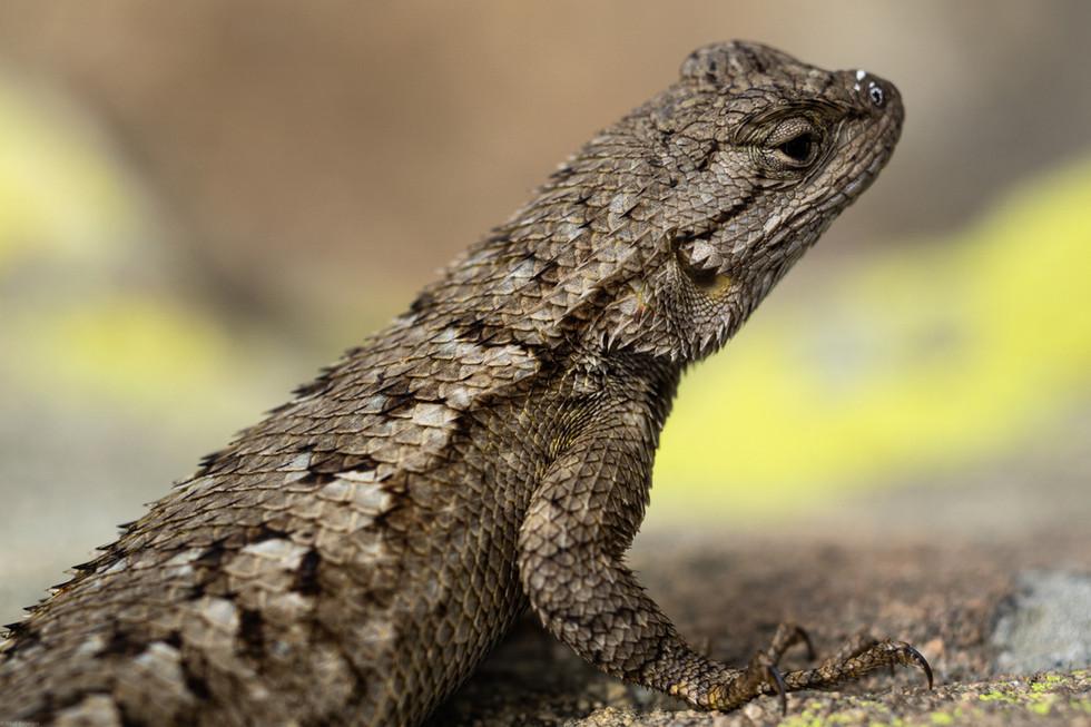 Reptiles-Western Fence lizard (FDmacro)
