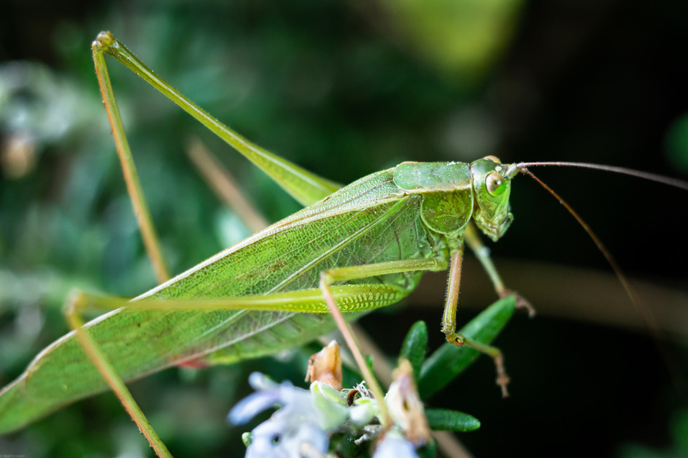 Insects- Grasshopper Fork-tailed Bush Ka