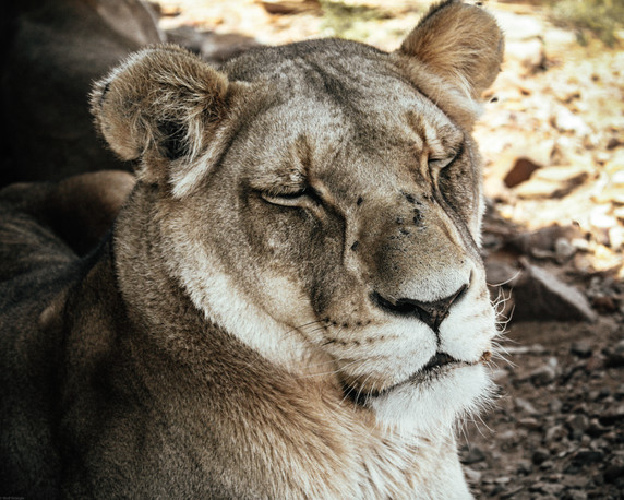Mammals-Lioness resting in the shade (Ca