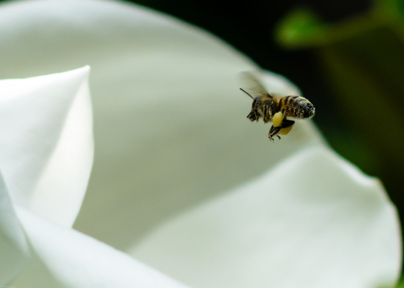 Insects-Bee in flight over magnolia flow