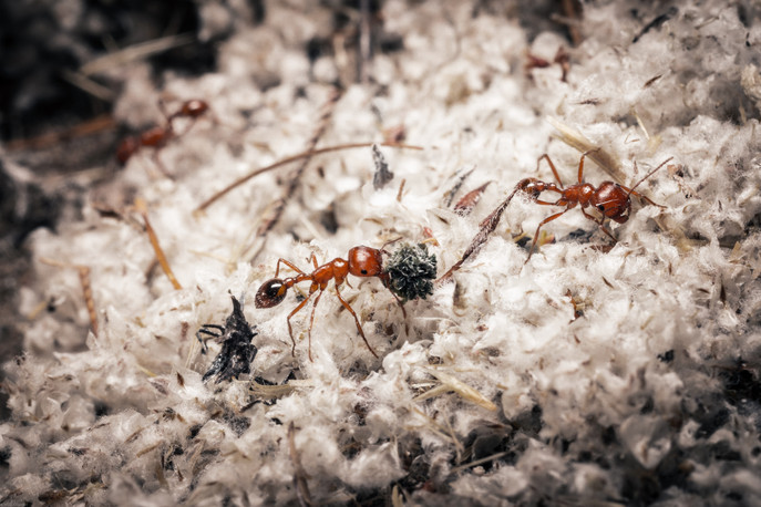 Insects-Red ants in Malibu Creek (FDmacr