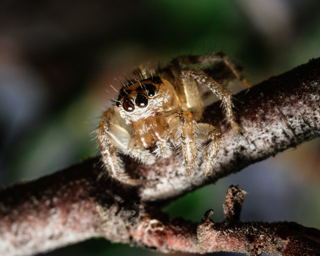 Insects-Jumping spider in Franklin Canyo