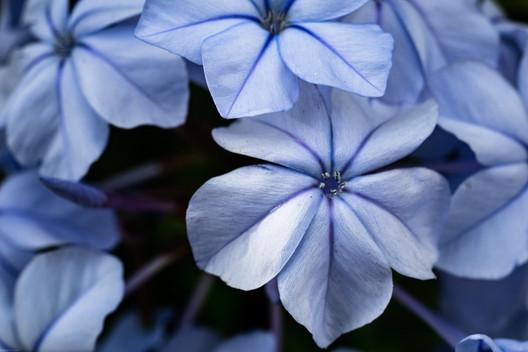 Flowers-Blue flower (FDmacro) 04.04.2020