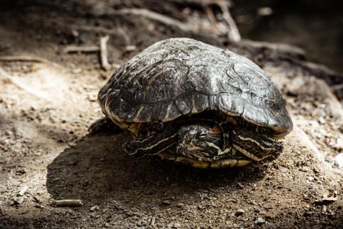 Amphibians-Turtle lounging (nikkor105) 0