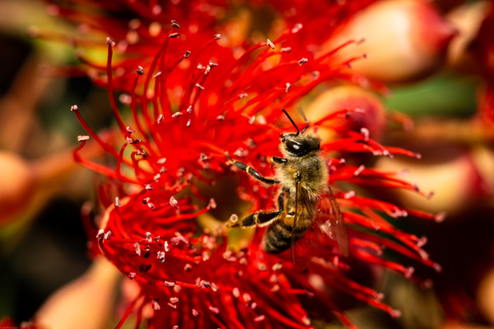 Insects-Bee polinating Bottlebrush flowe