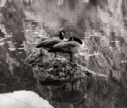 Birds-Canadian Geese Malibu Creek (FDmac