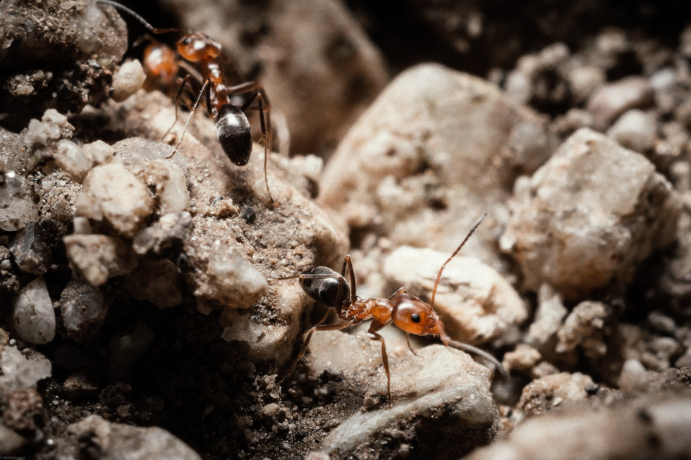 Insects-Bicolor ants in Newhall Canyon (