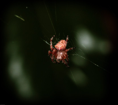 Insects-Small red spider (FDmacro) 07.01