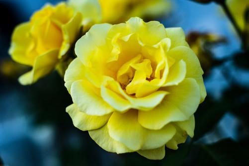 Flowers-Yellow Rose (FD50) 04.14.2020 -0