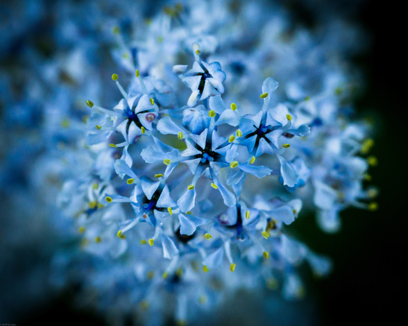Flowers-California Mountain Lilac or Cea