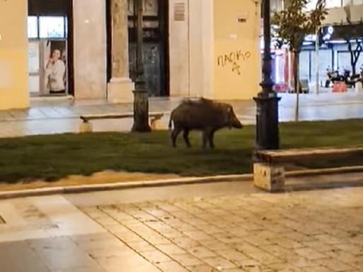 Θεσσαλονίκη: Ο Δήμος προμηθεύεται αναισθητικό όπλο για τα αγριογούρουνα που βολτάρουν...