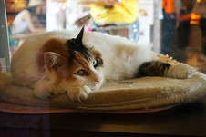 貓奴必到-和歌山貴志駅、探三色貓「二玉」(二たま) 站長