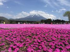 東京自由行-富士山、河口湖必到行程「富士芝櫻祭」及交通資訊 (一)