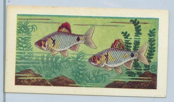 """UNITED DAIRIES TEA 1961 """"AQUARIUM FISH"""" #3"""