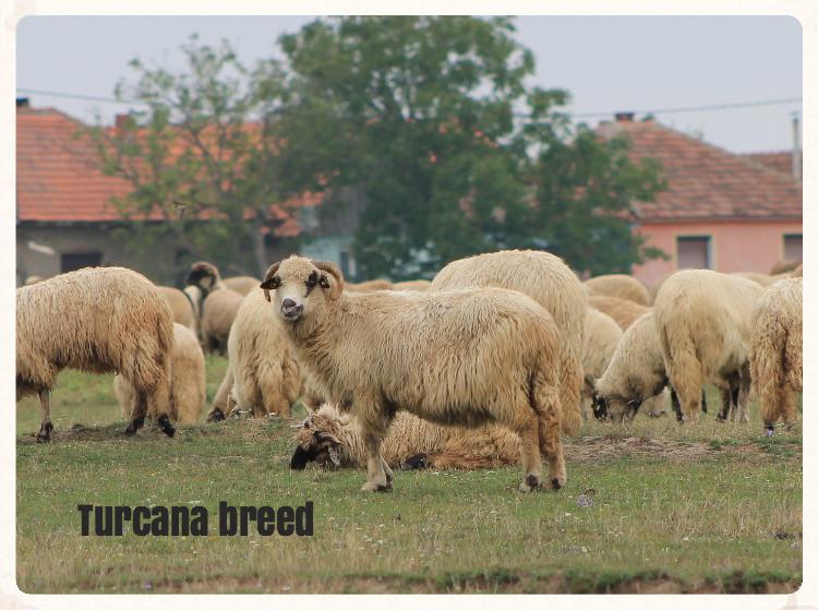 Turcana sheep @MoekeYarns