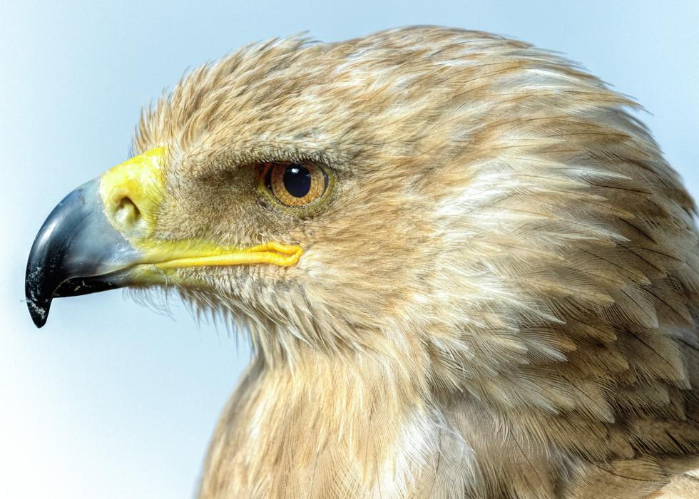 African Tawney Eagle
