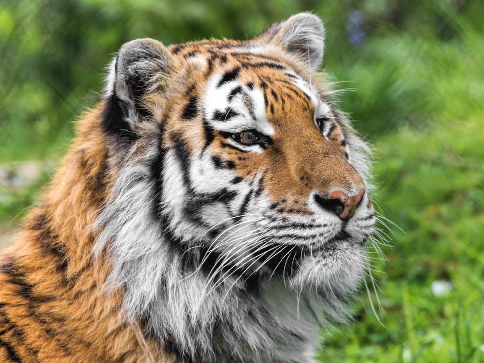 Arina the Tiger