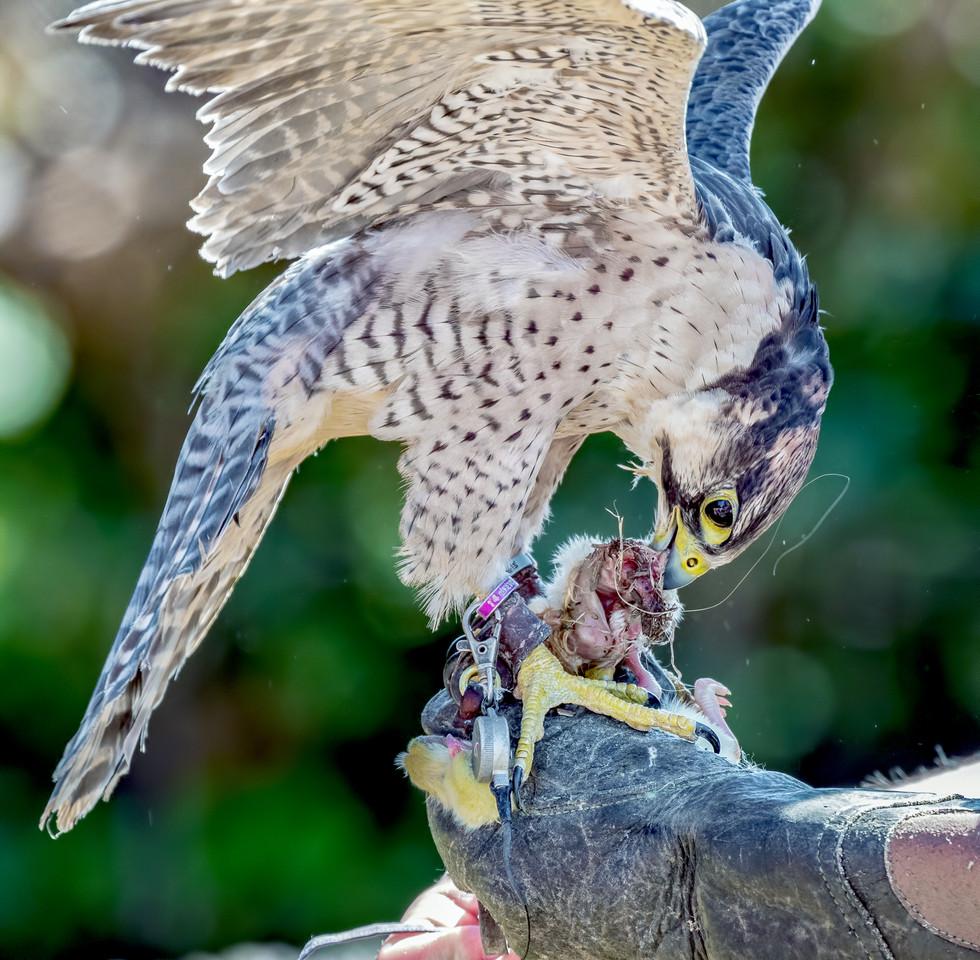 Peregrine/Lanner Falcon Hybrid