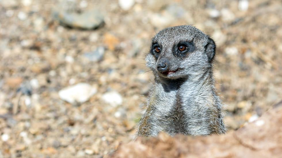 Smiling Meerkat