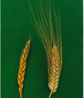 Не забудьте о сортовых прополках зерновых культур!