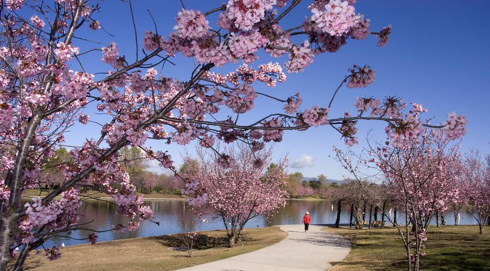 Lake Balboa cherry blossom.jpg