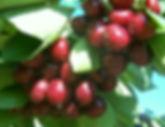 sweet cherry 24.jpg