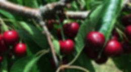 Sweet cherry limb closeup.JPG