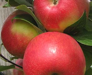 best Honeycrisp 3 apple.JPG