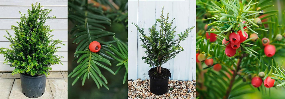 Yew Shrubs and Berries