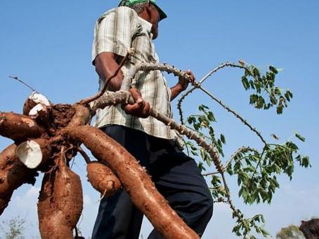 Sucreños y córdobeses sembradores de yuca, con miras a formar la 'Cadena Nacional de la Yuca'