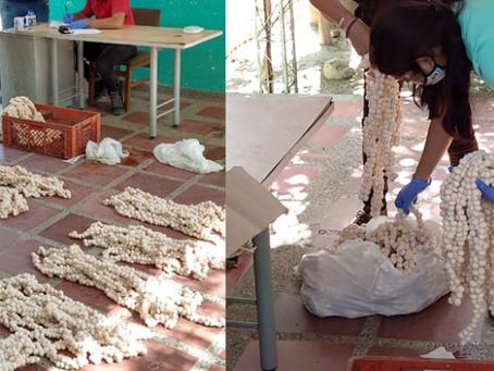 Decomisan 4.300 huevos de iguana en Ciénaga – Magdalena