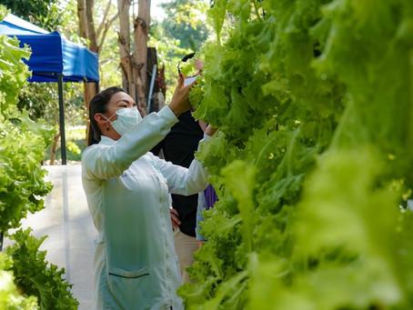 Conozca el primer cultivo hidropónico de lechuga crespa, en Sucre