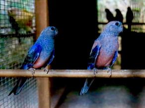 秋草インコ ブルー