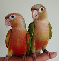 左パイナップル(シナモンオパーリン) 右シナモン