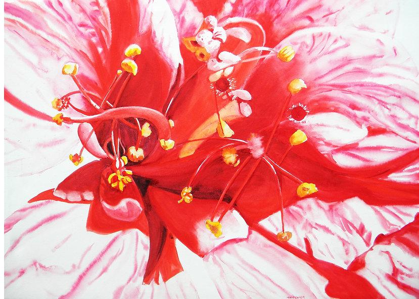 Hibiscus échevelé.JPG