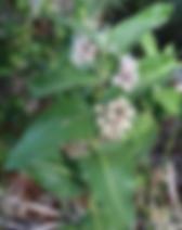 milkweed_JPG.webp