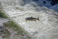 salmon-fish-waterfall-stream-royalty-fre