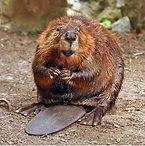 beaver2 clipart.jpg