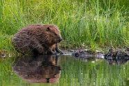 beaver1 clipart.jpg